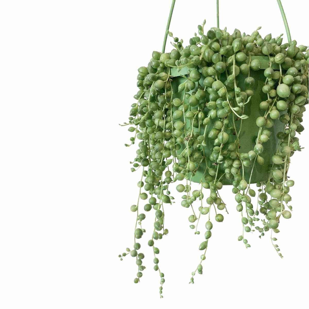 Large string of pearls plant