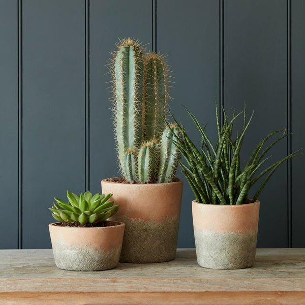 Three terracotta pots with plants on a table