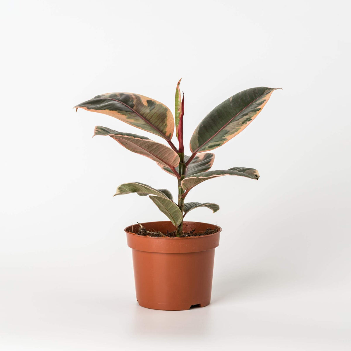 "Variegated rubber plant ""Belize Ruby"" - Scandiscapes"