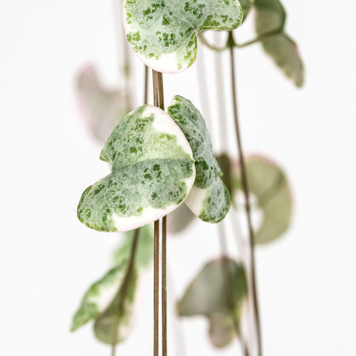 Variegated string of hearts plant - Scandiscapes