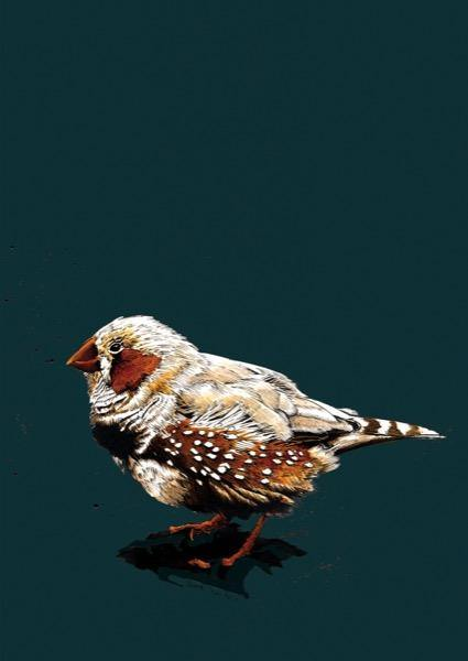 The Zebrafinch A4 Art Print