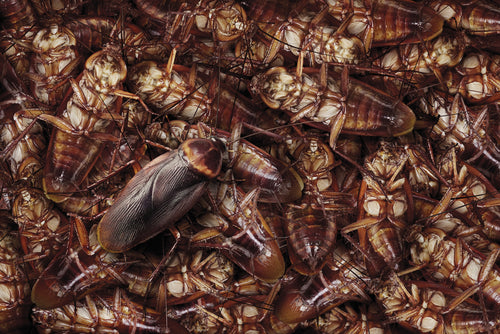 Porch Pirates Steal Scientist's Package of 500 Live Cockroaches