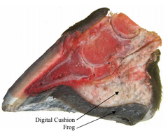 A view showing the inside of the hoof, digital cushion and frog