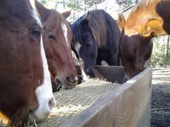 Photo of multiple horses eating from a bale net enclosed in a wooden trough