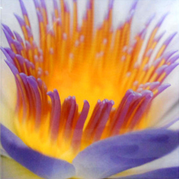 MACRO OF WATERLILLY MOUNTED ON ACRYLIC