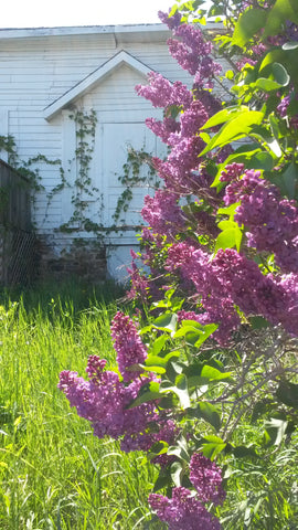 Magenta coloured lilacs in the foreground, and boarded up white decrepit farmhouse in the background