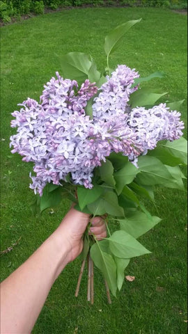 A person holds up a small bouquet of lilacs against lush green grass. The lilacs are the traditional colour, shape and size.