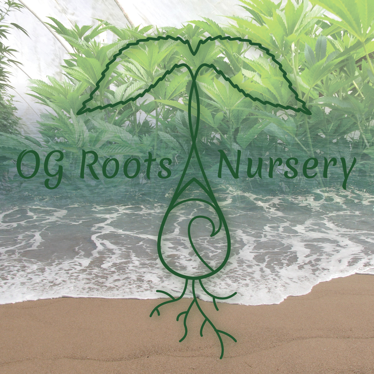 Strain List – Ocean Grown Roots Nursery