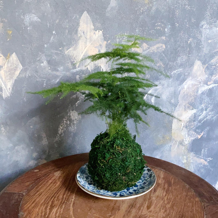 Aparagus Fern #2 with preserved moss