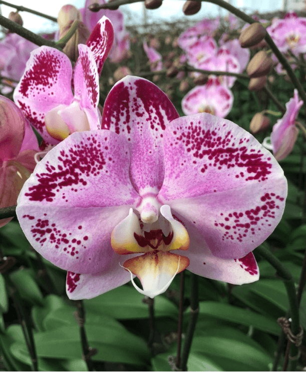 Phalaenopsis Orchids (Small) - Flourish by Charlene