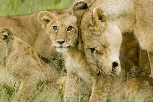 Photograph Lion cub with his mother