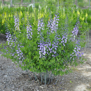 Baptisia - Frequently Asked Questions