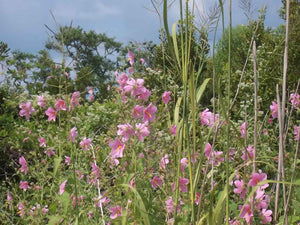 Seashore Mallow - A Plant with a Bright Future