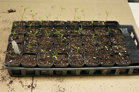Milkweed seedlings potted up into individual pots