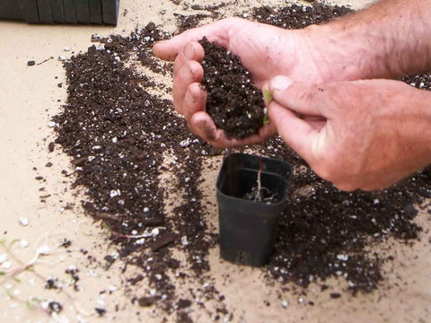 Potting up milkweed seedlings