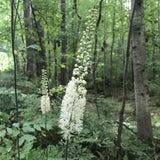 Actaea (Cimicifuga) racemosa plant flowering in the woods in June