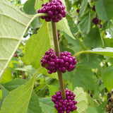 American Beautyberry with purple colored fruit in clusters between the stems and leaves