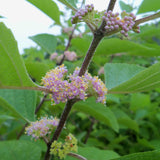 The small pink flowers of American Beautyberry opening in July