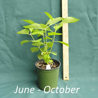 American Beautyberry plant in a 4 x 5 in. (32 fl. oz.) nursery container between June to October