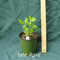 American Beautyberry in a 4 x 5 in. (32 fl. oz.) nursery container just starting to emerge from dormancy in late April