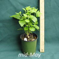 American Beautyberry in a 4 x 5 in. (32 fl. oz.) nursery container just starting to emerge from dormancy in mid-May