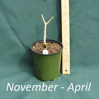 Dormant American Beautyberry plant in a 4 x 5 in. (32 fl. oz.) nursery container between November and April
