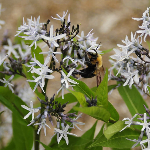 Close up of Blue Star flowers with a bumblebee collecting nectar