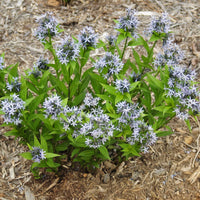 Blue Star (Amsonia tabernaemontana) plant flowering in April as it emerges from dormancy