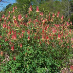 Eastern Columbine (Aquilegia canadensis) plant flowering in early spring with red and yellow flowers