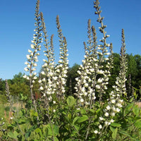 The vertical flower spikes of White False Indigo rise above the leaves