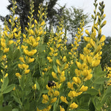 Close up of Baptisia 'Screamin' Yellow' flower spike in early May