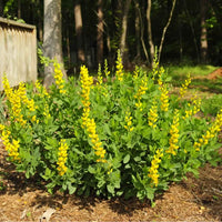 Mature Screamin' Yellow False Indigo plant with yellow flowers and compact growth