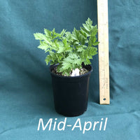 Black cohosh in a 4 x 5 in. (32 fl. oz.) nursery container in mid-April