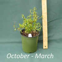Desi Arnaz Bush Mint in a 4 x 5 in. (32 fl. oz.) nursery container from October through March