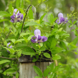 Clematis crispa in flower and climbing along a wooden railing