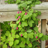 Clematis glaucophylla vine growing up a wooden railing and displaying its pink flowers