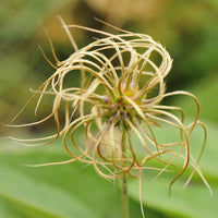 Close up of the seed heads of Clematis ochroleuca ripening in summer