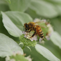 Honey bee gathering nectar from the flowers of clustered mountain mint