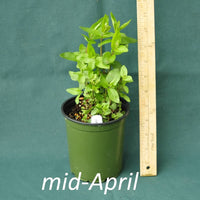 Clustered Mountain Mint in a 4x5 in. (32 fl. oz.) nursery container in mid-April