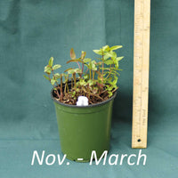 Clustered Mountain Mint in a 4x5 in. (32 fl. oz.) nursery container from November through March