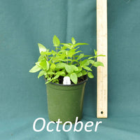 Clustered Mountain Mint in a 4 x 5 in. (32 fl. oz.) nursery container in October