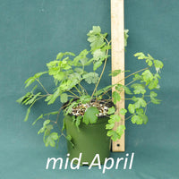 Eastern Columbine in a 4 x 5 in. (32 fl. oz.) nursery container in mid-April