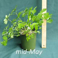 Eastern Columbine in a 4 x 5 in. (32 fl. oz.) nursery container in mid-May