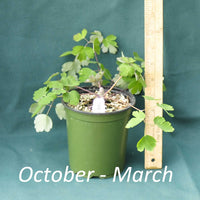 Eastern Columbine in a 4 x 5 in. (32 fl. oz.) nursery container between October and the month of March