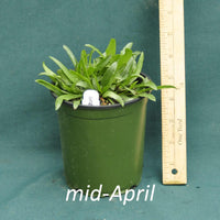 Public Domain Coneflower in a 4 x 5 in. (32 fl. oz.) nursery container in mid-April