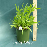 Public Domain Coneflower in a 4 x 5 in. (32 fl. oz.) nursery container in mid-May