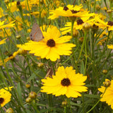 Summer Sunshine Coreopsis flowering in September