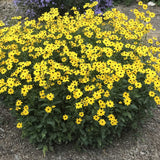 Summer Sunshine Coreopsis showing its attractive and sturdy habit