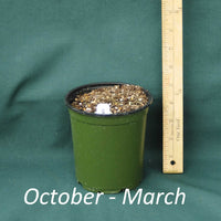 Seashore Mallow in a 4x5 in. (32 fl. oz.) nursery container from October through March