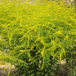 Hundreds of Solidago 'Fireworks' flowers explode into bloom in late summer